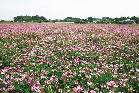 田んぼ沿いのレンゲ畑